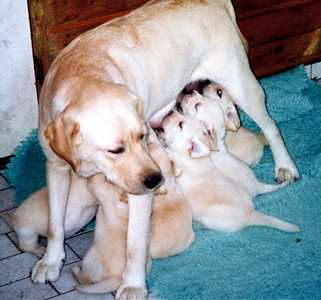 Inkeri and her puppies